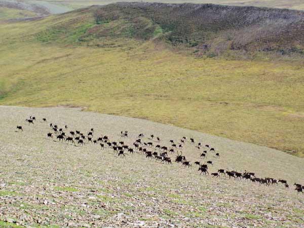 Caribou herds in Alaska.