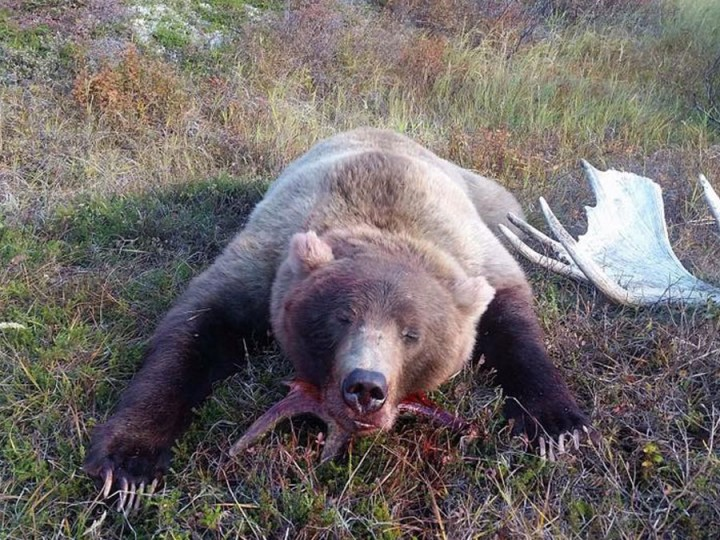 Large Alaska bear hunting with Arctic North Guides.